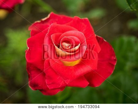 Rose on green blurred background with fresh petals. Blooming red rose in the garden close-up. Selective, soft focus