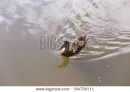 Wild duck swimming on a mountain lake.