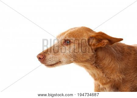 Beautiful hound dog with brown hair isolated on a white background