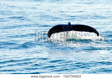 Humpback Whale Diving - Showing Water Streaming Over Tail