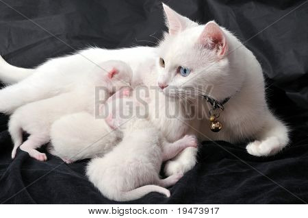 White cat nursing newborn kittens on black background.