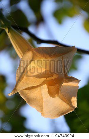 Angel's Trumpet or trumpet flower - Brugmansia sanguinea