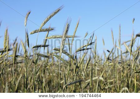 Ripening cereals against the blue cloudless sky/ rye on the field in summer