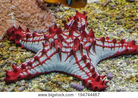Lincks Roller Seester Protoreaster linckii Red Sea Star from the Indian Ocean.