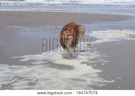 Shetland sheepdog running in the water over the beach on a sunny day