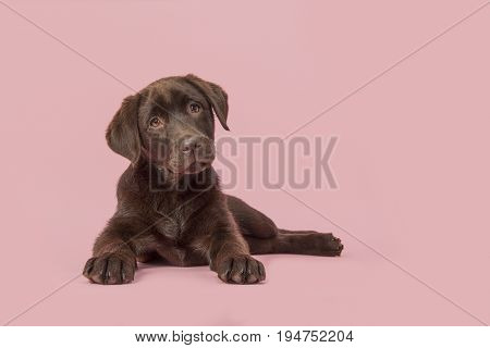 Four months old brown labrador retriever puppy lying down seen from the front looking at the camera on a pink background