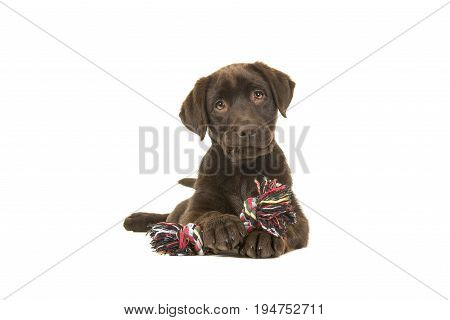 Brown labrador retriever puppy lying down seen from the front with its paws in front of her holding a knotted rope bone and looking cute straight at the camera isolated on a white background
