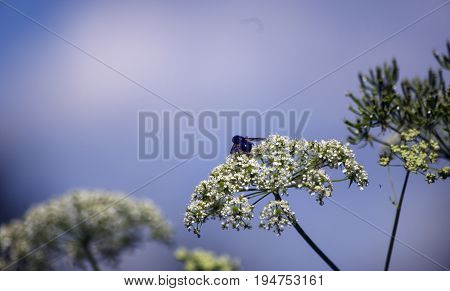 Sunny clear summer day on the white inflorescences of wildflowers the black fruit fly feeds on nectar.