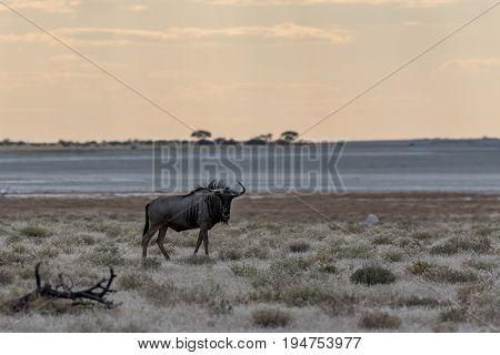 a Gnu in the etosha national Park