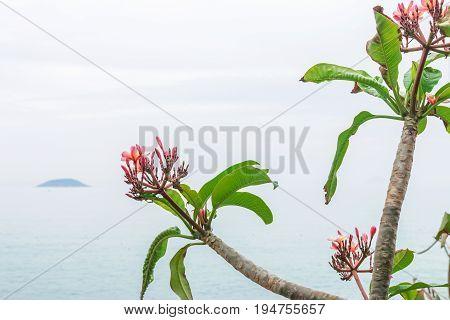 Plumeria tree, frangipani tropical flowers.White, pink and yellow plumeria. Toned Filter Effect.