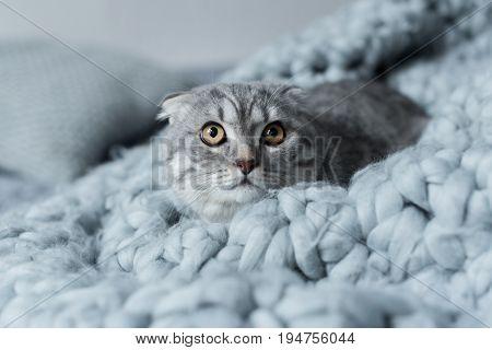 Scared Fluffy Scottish Fold Cat Lying On Wool Blanket In Bedroom