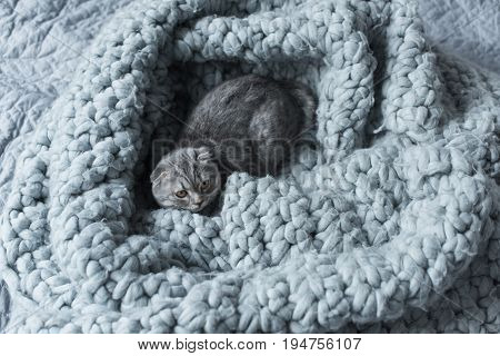 Top View Of Grey Fluffy Scottish Fold Cat Lying On Wool Blanket In Bedroom