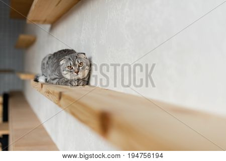 Fluffy Scottish Fold Cat Looking At Camera And Lying On Wooden Shelf