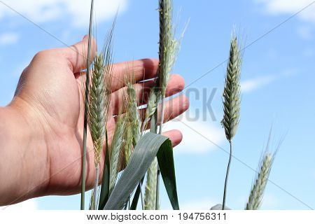 farmer's hand stroking the ripening ears of rye on the background of the sky with clouds / summer inspection cereals