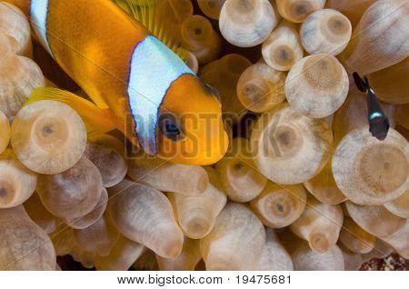Red Sea Anemone fish and little black juvenile - a series of UNDERWATER IMAGES. poster