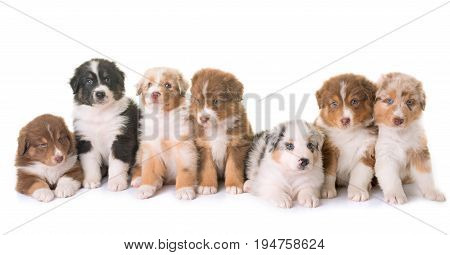 puppies australian shepherd dog in front of white background