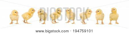 Group of eight baby chicken on a white background