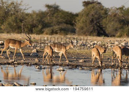 a Springbok in the etosha national park