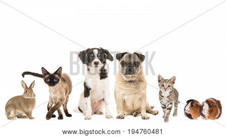 Group of variety of pets and different ages adult cat young cat puppy older dog purebred mixed breed and a guinea pig and a rabbit