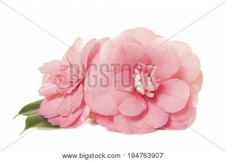 Pretty two pink camelia japanese roses isolated on a white background
