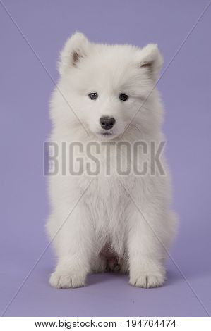 Fluffy white samoyed puppy sitting looking at the camera on a purple background