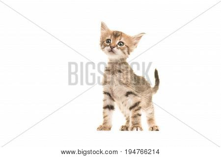 Cute tabby turkish angora baby cat standing isolated on a white background