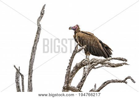 Lappet-faced vulturre in Kruger national park, South Africa ; Specie Torgos tracheliotos family of Accipitridae