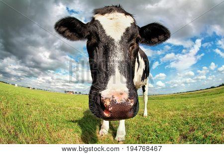 cow head close up via fish-eye lens over blue sky