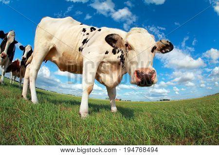 cow on pasture over blue sky via wide angle