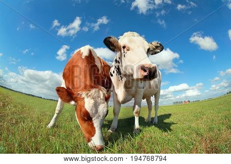 cows on pasture over blue sky close up