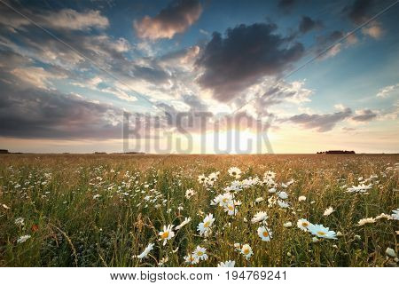 beautiful sundown over chamomile flowers field in summer