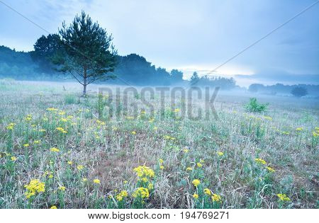 misty morning on meadow with arnica flowers in summer