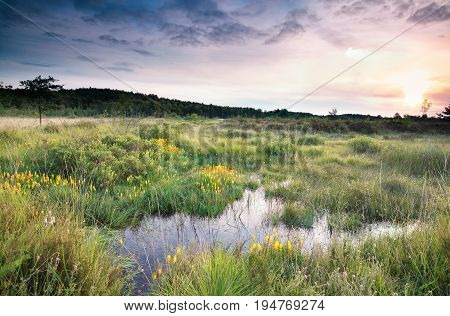 sunrise over swamp with bog asphodel flowers in summer