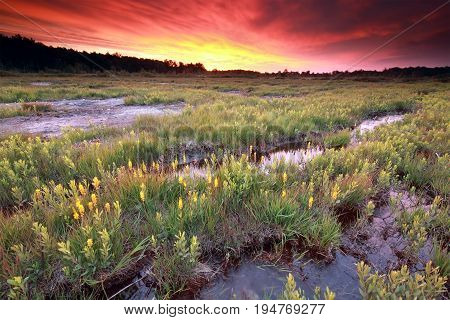 purple dramatic sunrise over moorland with bog asphodel flowers