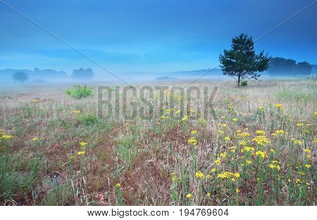 arnica flowers on hill in misty morning