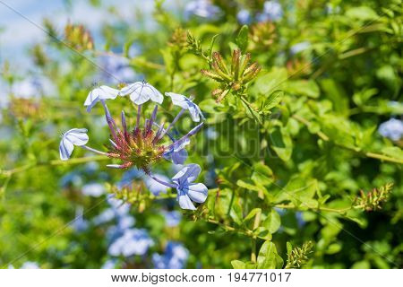 Close-up of beautiful Blue Flowers in Sunlight. View on a Plumbago auriculata also known as  Cape plumbago Cape leadwort or Plumbaginaceae. Blooming Flower in Summer