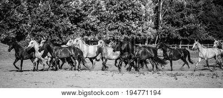 Panoramic side view shot of galloping horses at rural animal farm summertime monochrome version