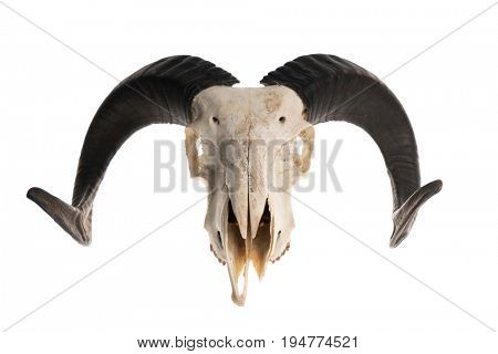 Ram skull with horns, isolated on white background