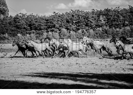 Black and white colored photo of running horses summertime