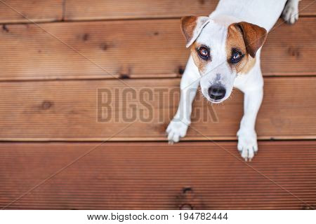 Dog at on wooden floor. Copy space. Pet