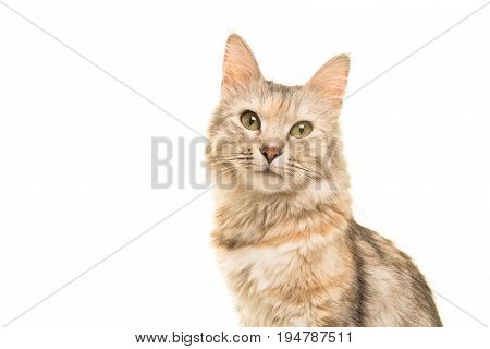 Tabby turkish angora cat portrait looking at the camera isolated on a white background