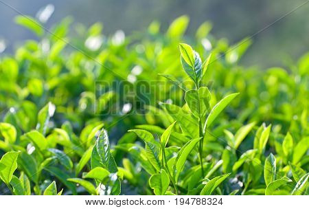 Green tea background - fresh leaves close up on blurred background at tea plantations in Munnar, Kerala, South India.