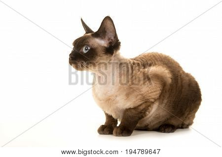 Devon rex cat lying down and looking to the left isolated on a white background seen from the side