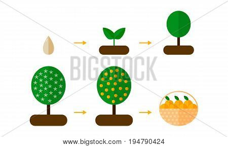 Vector Illustration. Growth Stages Of Orange Trees Blooming Oran
