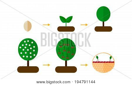 Vector Illustration. Growth Stages Of Orange Trees Blooming Cher