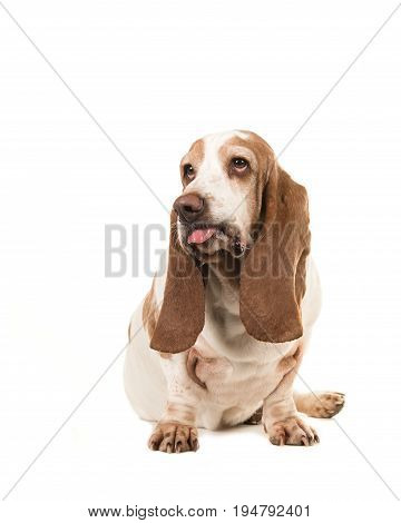 Sitting basset hound making a funny face sticking its tongue out isolated on a white background