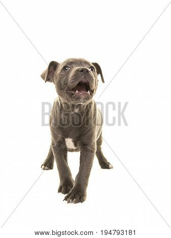 Cute grey stafford terrier puppy dog looking up with its mouth open as of speaking isolated on a white background