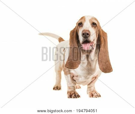 Cute young adult basset hound standing isolated on a white background