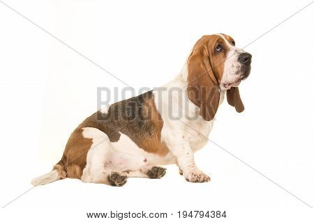 Cute young adult basset hound sitting and looking to the right seen from the side isolated on a white background