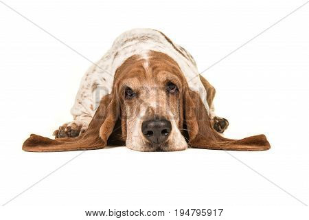Adult basset hound lying down with its head on the floor seen from the front isolated on a white background